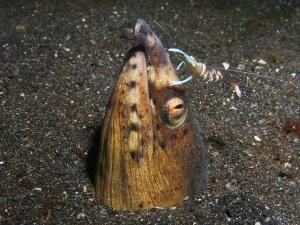 Black-finned Snake Eel