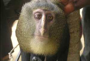 Lesula Monkey