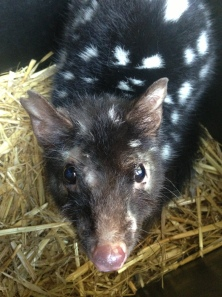 Quoll without its skin condition